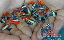 1 TRIO - Live Guppy Fish High Quality -  Dumbo Red Tail -  USA Seller