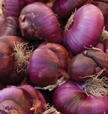 48 LIVE ONION PLANTS, Red Marble Cipollini / Intermediate Day Organic Starters