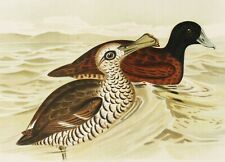 1891 Antique lithograph of DUCKS from OCEANIA. BIRDS. ORNITHOLOGY. NEW ZEALAND.