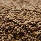 Briess Victory Malt 1 lb for Home Brew Beer Making