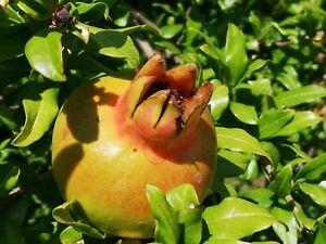 exotisches Saatgut Geschenkidee Samen für den GRANATAPFEL Obst Samen gesund.