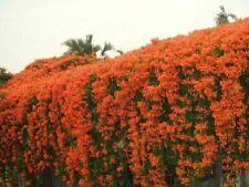 5 PCS Rare Chinese Orange Pyrostegia venusta Perennial Climbing Plant Seeds