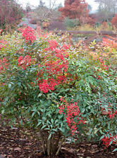 """Nandina Domestica Heavenly Bamboo Established Rooted Shrub 2.5"""" Potted 12 Plants"""