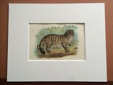 1896 Wild Cat Original Antique Matted Chromolithograph Vintage Print Wildlife