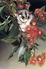 QUALITY CANVAS ART PRINT * Australian Sugar Glider Possum