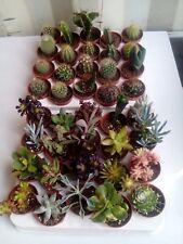 40 x Mixed Succulents/Cactus Plants (5.5cm Pots) - Assorted Varieties