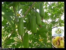 (50) Hairy Gourd seeds,Winter Melon,fuzzy chinese Squash, Mao Gua (Bi Dao) seed.