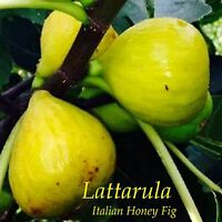 ~LATTARULA~ aka ITALIAN HONEY FIG Cold Hardy Ficus Tree Live small potted Plant