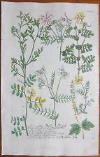 WEINMANN: Phytanthoza Iconographia Large Colored Print Coronilla Vetch - 1737