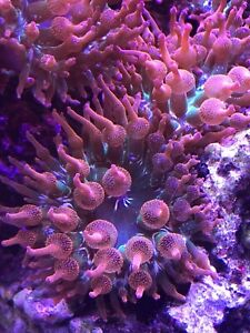 Tricolour Bubble Tip Anemone Rainbow, Marine, 5-7 cm 2-2.7in