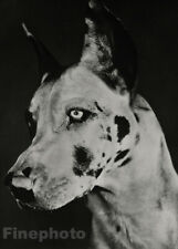 1933 Original Great Dane Dog Canine By YLLA Vintage Animal Photo Gravure Art