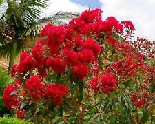 Red Flowering Gum Seed Small Tree Dense Crown Summer Flowers Corymbia ficifolia