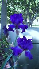 OCEAN PACIFIC Tall Bearded Iris - Brilliant Blue Color - 1 Rhizome