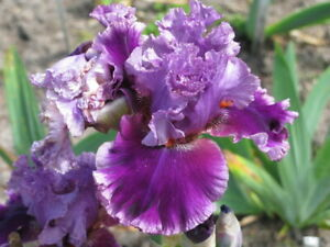 ** CLEARING SALE ** TALL BEARDED IRIS - **ANOTHER WOMAN** - LILAC MAUVE RUFFLED
