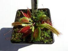 Venus Fly Trap Big Vigorous Cultivar Dionaea Muscipula House / Garden Plants