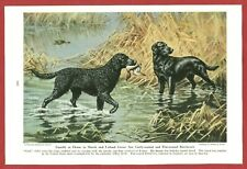 1947 Dog Print Illustration ~ Curly & Flat-Coated Retriever~ Art by Walter Weber