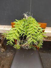 Dendrobium Anosmum Hybrid Noid Orchid Plant