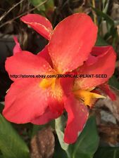 10 seeds Pink splash canna lily very beautiful, not plant, flower, pond plant