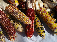 "100 Miniature INDIAN CORN Ornamental SEEDS 5"" to 6""  Colorful Ears Fingers Size"