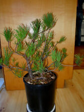 11 Year Old Formal Upright 2 Tree Japanese Black Pine 3/4 & 1 Inch Trunks Bonsai