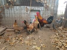New listing 6 Ayam Ketawa, Laughing Chicken Poultry Hatching Eggs. From Okla Game Farm.
