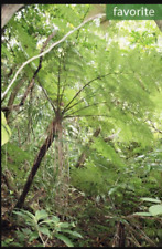 Cyathea fenicis, Alsophila fenicis