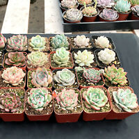 Succulent Plants, 6 Pack of Assorted Rosettes, Fully Rooted in 2'' Planter Pots
