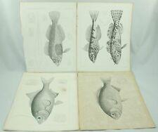 Vintage Fish Prints Plate XIX XVI XXXIII XXXII Fish Explorations Surveys Art Lot