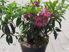 Kalmia latifolia Ginkona, Berglorbeer, Blüte weiß-dunkelrosa, immergrün