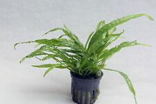 MICROSORUM pteropus 'Narrow Leaf' - Schmalblatt-Javafarn - Aufsitzerpflanze