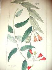 DIETRICH D.Nathaniel Friedrich Flora Universalis 1831-1861 ALSTROEMERIA Botanica