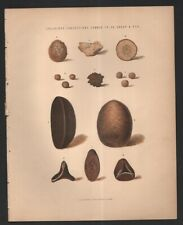 Calculous Concretions Common To Ox  Sheep Pig LARGE Original c1890 Color Print