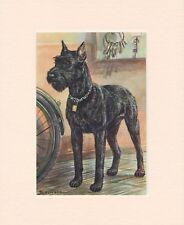 GIANT SCHNAUZER ORIGINAL OLD 1950's DOG ART PRINT READY MOUNTED