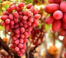 Red Grape Vine Plant Crimson Seedless 2L Pot Outdoor Soft Fruit Climbing Edible