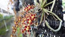Chiloschista lunifera miniature fragrant orchid plant species BLOOM + CERTIFICAT