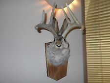 JACKALOPE HEAD MOUNT 6 POINT RABBIT HORNS PROFESSIONALLY done DEER ANTLERS HARE