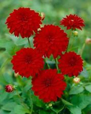 3 Dahlia Melody Mambo Red Summer Flowering Hardy Perennial Garden Bulbs Tubers