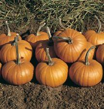 25 Seeds Baby Bear Pumpkin Seeds GARDEN SEEDS