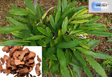 Dr T&t Gao Liang Jiang/galanga raíz/galanga rizoma 100g Dry Herbs menor