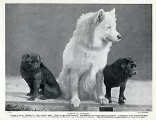 TWO LITTLE BLACK PUG AND A SAMOYED NAMED DOGS OLD ORIGINAL DOG PRINT FROM 1934