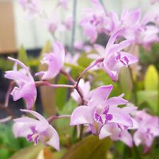 Dendrobium kingianum - easy growing fragrant orchid!