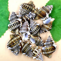 7pcs Natural Beautiful top rare real sea Shell Conch aquarium YBK027