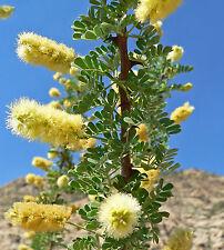 Acacia greggii (5 graines)