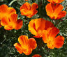 CALIFORNIA POPPY MIKADO Eschscholzia Californica - 15,000 Bulk Seeds
