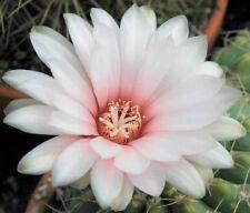 Hardy Bola Cactus - Especie Mixta - Semillas Frescas
