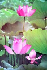 "Landscapes Nature POSTER 23""x34"" Lotus Water Lily Leinwandbild Pink Photo Siam"