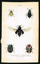 Burying Beetles, Coleopter Insects, Hand-Colored Engraving, Jardine 1841