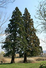 10 graines SEQUOÏA GEANT(Sequoiadendron Giganteum)G148 SEEDS SAMEN SEMI SEMILLAS
