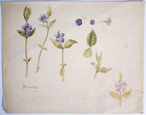 Antique botanical watercolour, dated 1903. Periwinkle, Myrtle.