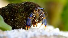 15X Dwarf Leg Hermit Crab (Clibanarius Tricolor) Clean Up Crew for Marine Tank